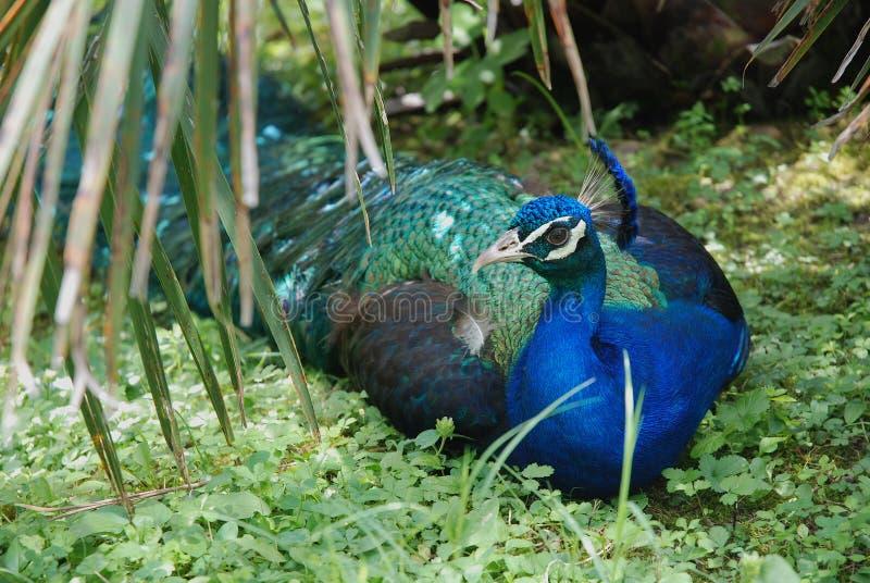 Αρσενική συνεδρίαση peacock στοκ φωτογραφίες με δικαίωμα ελεύθερης χρήσης