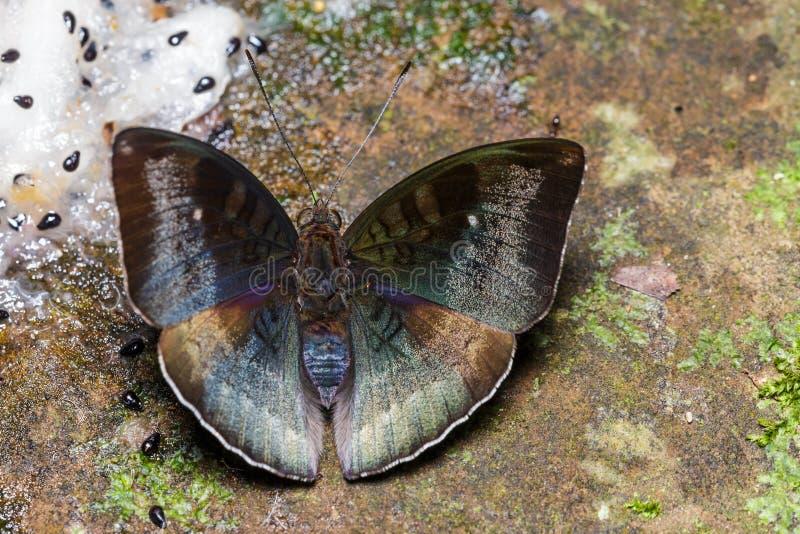 Αρσενική της Μαλαισίας πεταλούδα βαρώνων στο έδαφος στοκ φωτογραφίες με δικαίωμα ελεύθερης χρήσης