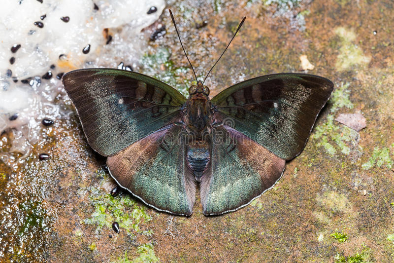 Αρσενική της Μαλαισίας πεταλούδα βαρώνων στο έδαφος στοκ φωτογραφία με δικαίωμα ελεύθερης χρήσης