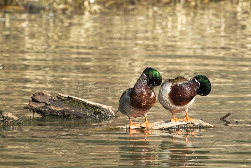 Αρσενικοί πρασινολαίμες που στοκ φωτογραφία