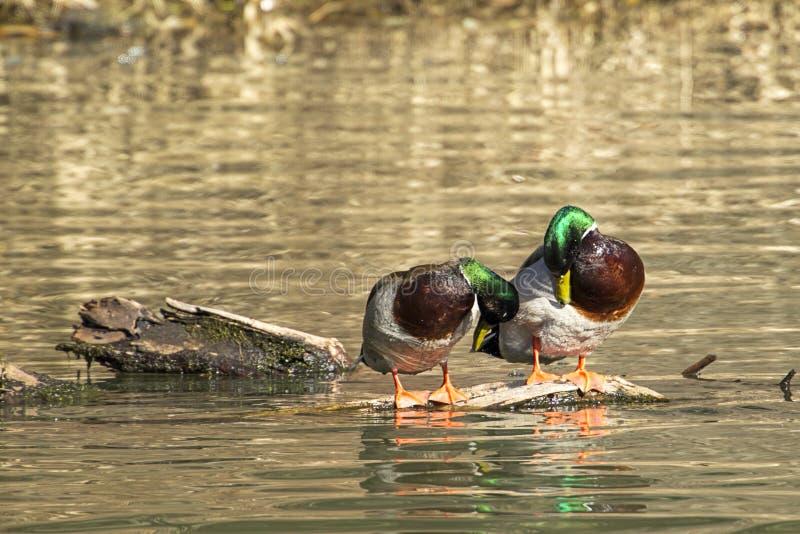 Αρσενικοί πρασινολαίμες Preening στοκ φωτογραφία με δικαίωμα ελεύθερης χρήσης