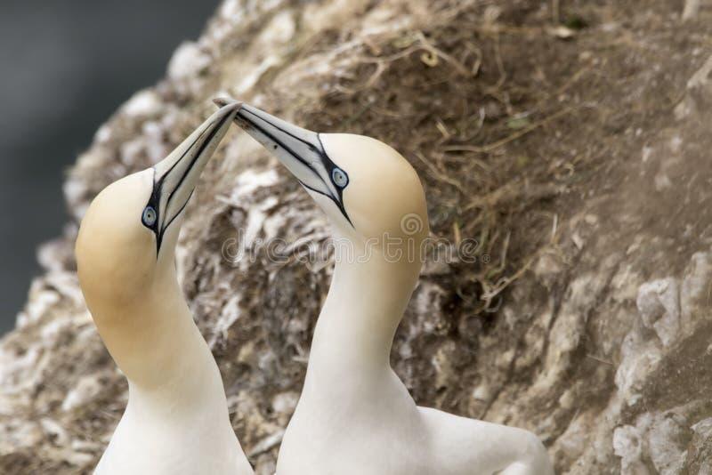 Αρσενικού και θηλυκού φλερτάρισμα Gannet, στοκ εικόνα με δικαίωμα ελεύθερης χρήσης