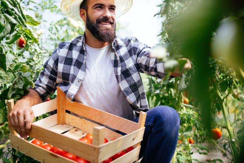 Αρσενικός αγρότης που επιλέγει τις φρέσκες ντομάτες από τον κήπο θερμοκηπίων του στοκ εικόνες