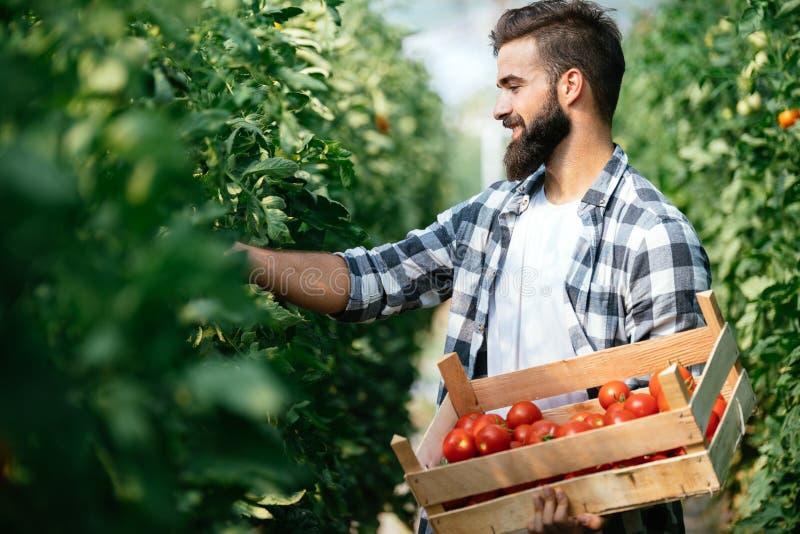 Αρσενικός αγρότης που επιλέγει τις φρέσκες ντομάτες από τον κήπο θερμοκηπίων του στοκ εικόνες με δικαίωμα ελεύθερης χρήσης
