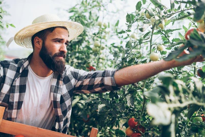 Αρσενικός αγρότης που επιλέγει τις φρέσκες ντομάτες από τον κήπο θερμοκηπίων του στοκ φωτογραφίες