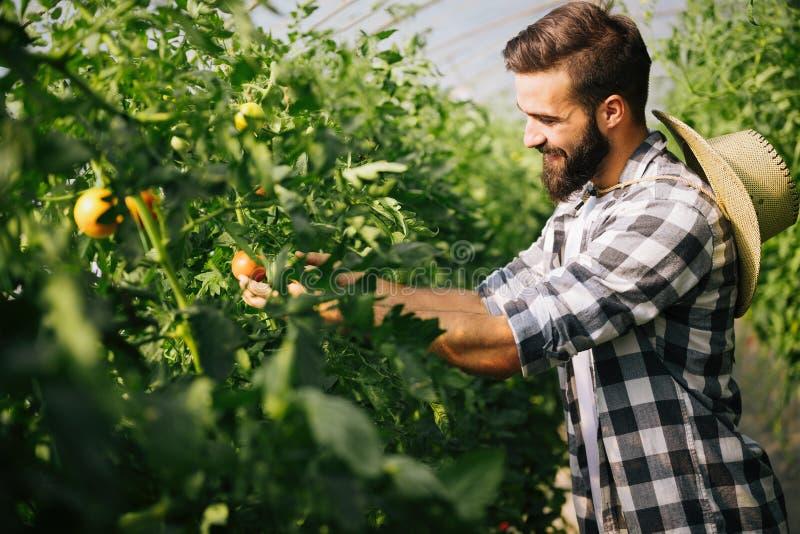 Αρσενικός αγρότης που επιλέγει τις φρέσκες ντομάτες από τον κήπο θερμοκηπίων του στοκ εικόνα