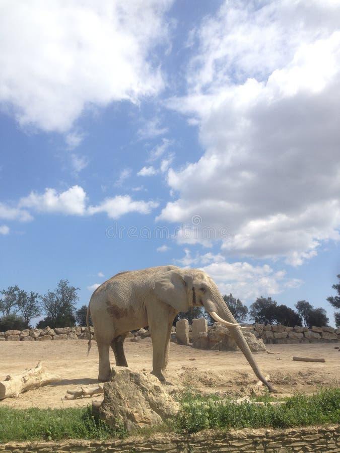 Αρσενικός ελέφαντας στην αφρικανική επιφύλαξη Sigean στοκ εικόνα
