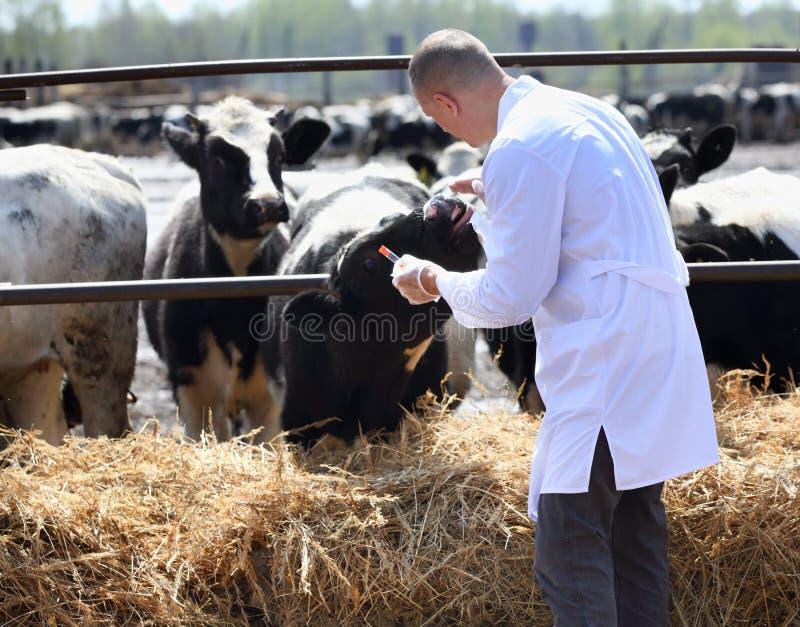Αρσενικός κτηνίατρος αγελάδων στοκ φωτογραφία με δικαίωμα ελεύθερης χρήσης