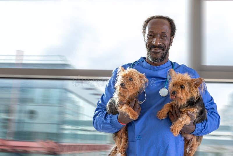 Αρσενικός κτηνίατρος με το στηθοσκόπιο γύρω από το λαιμό, που κρατά το τεριέ του Γιορκσάιρ δύο σκυλιών, στα όπλα του στοκ φωτογραφία με δικαίωμα ελεύθερης χρήσης