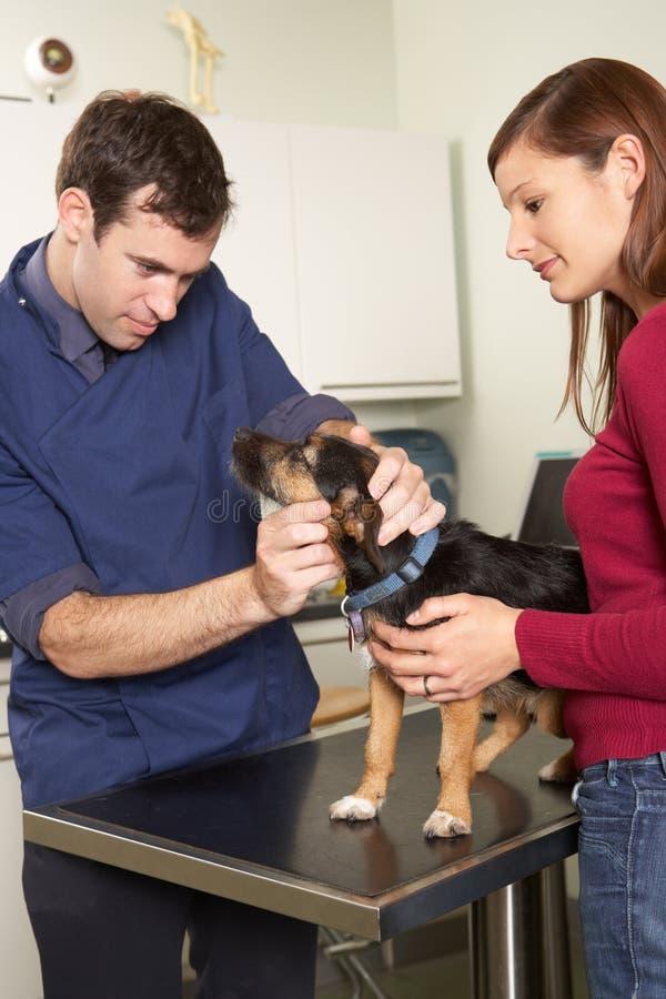 Αρσενικός κτηνιατρικός χειρούργος που εξετάζει το σκυλί στη χειρουργική επέμβαση στοκ φωτογραφία