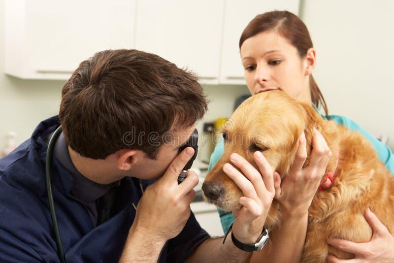 Αρσενικός κτηνιατρικός χειρούργος που εξετάζει το σκυλί στη χειρουργική επέμβαση στοκ εικόνα με δικαίωμα ελεύθερης χρήσης