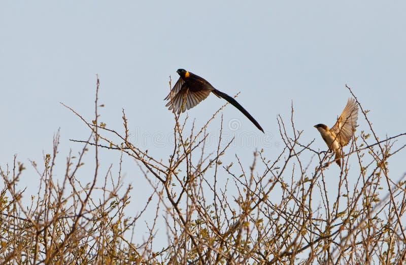 αρσενικός παράδεισος πτήσης whydah στοκ φωτογραφίες