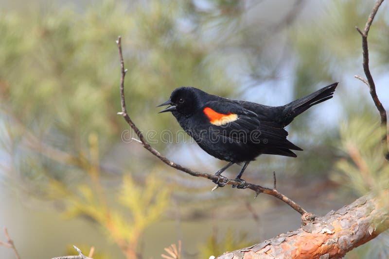 Αρσενικός Red-winged κότσυφας που καλεί από μια πέρκα στοκ εικόνα με δικαίωμα ελεύθερης χρήσης