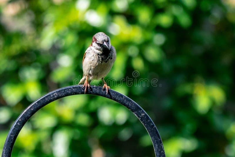 Αρσενικό άγριο πουλί domesticus πομπών σπουργιτιών σπιτιών που σκαρφαλώνει σε έναν τροφοδότη κήπων στοκ φωτογραφίες με δικαίωμα ελεύθερης χρήσης