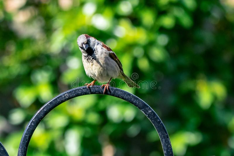 Αρσενικό άγριο πουλί domesticus πομπών σπουργιτιών σπιτιών που σκαρφαλώνει σε έναν τροφοδότη κήπων στοκ εικόνες με δικαίωμα ελεύθερης χρήσης