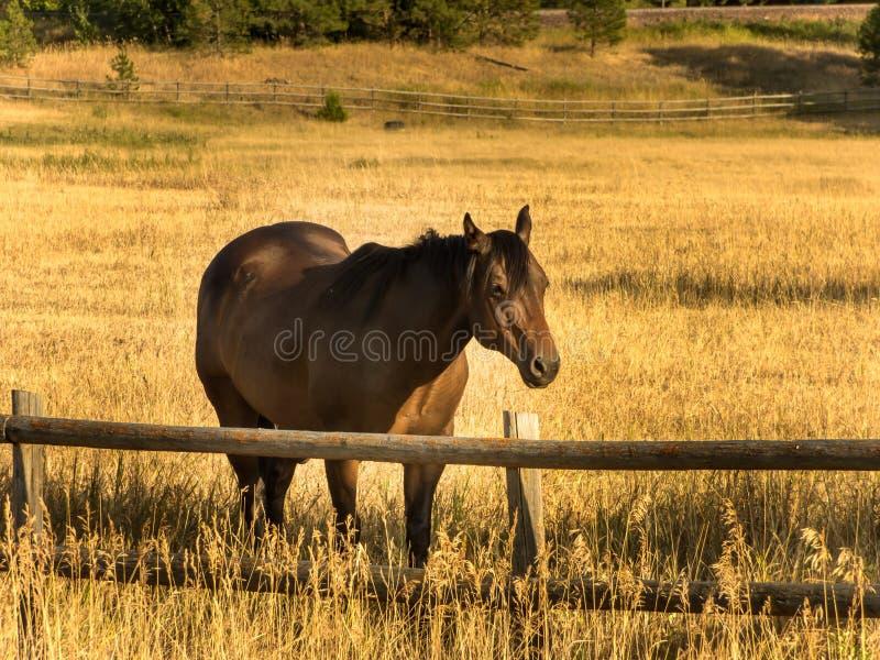 Αρσενικό άλογο στοκ εικόνα