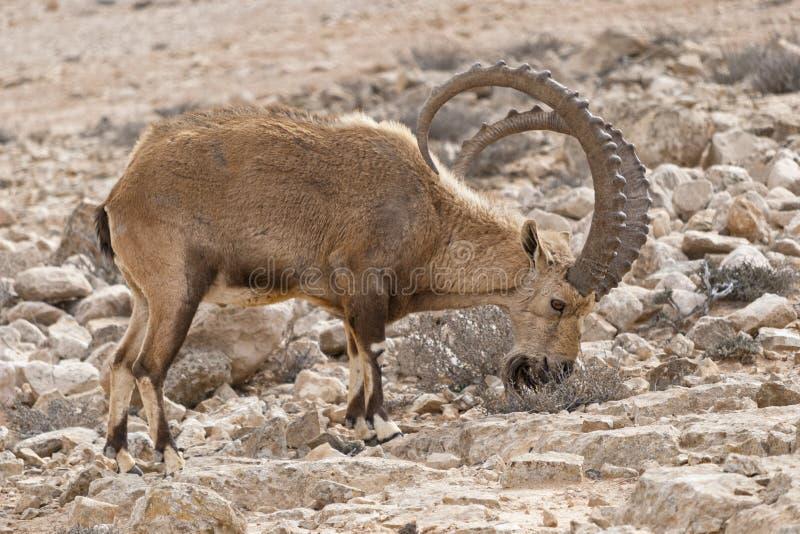 Αρσενικό αγριοκάτσικο που κοιτάζει βιαστικά στο φυσικό βιότοπο κοντά σε Mitspe Ramon στο Ισραήλ στοκ φωτογραφία
