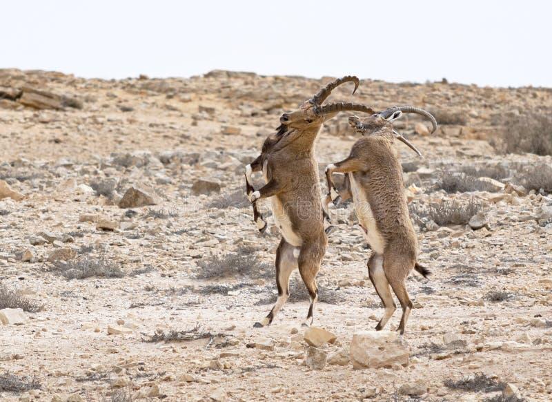 Αρσενικό αγριοκάτσικο χορού στο φυσικό βιότοπο κοντά σε Mitspe Ramon στο Ισραήλ στοκ εικόνα