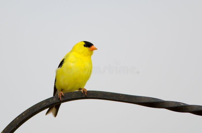 Αρσενικό αμερικανικό να σκαρφαλώσει Goldfinch στοκ εικόνες