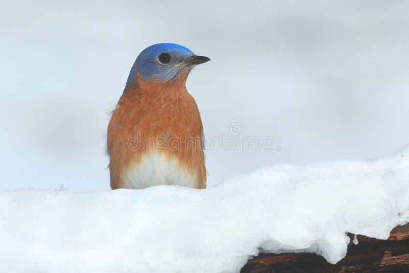 Αρσενικό ανατολικό Bluebird στο χιόνι στοκ φωτογραφίες