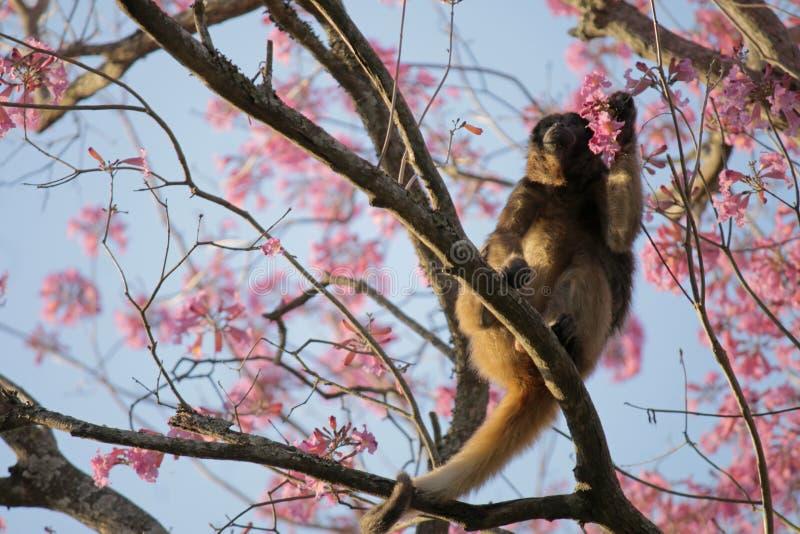Αρσενικό δέντρο λουλουδιών πιθήκων στοκ φωτογραφία με δικαίωμα ελεύθερης χρήσης