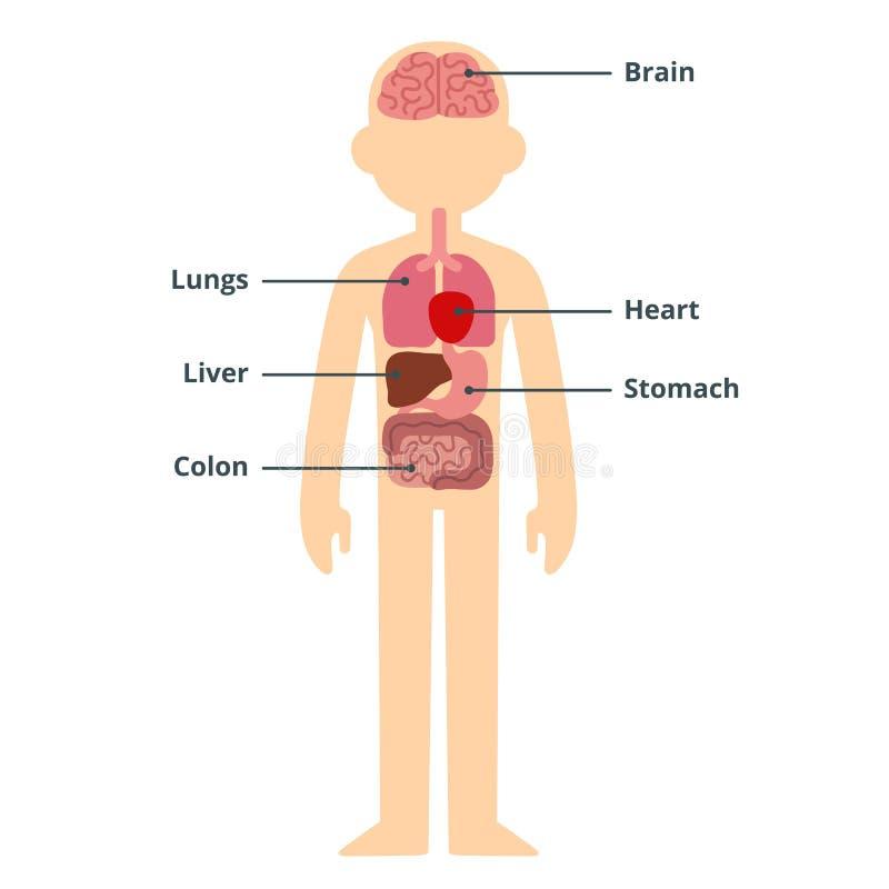 Αρσενικό διάγραμμα οργάνων διανυσματική απεικόνιση