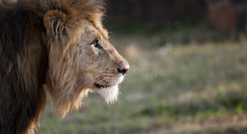 Αρσενικό λιοντάρι Νότια Αφρική στοκ φωτογραφία με δικαίωμα ελεύθερης χρήσης