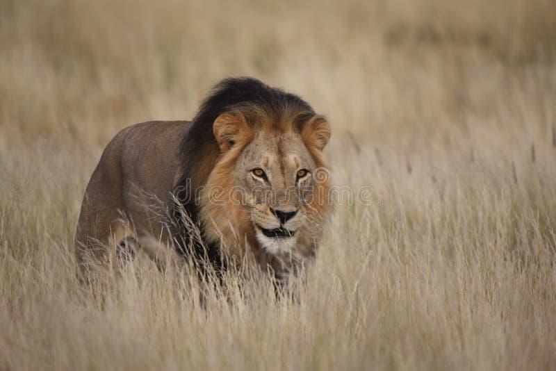 Αρσενικό λιοντάρι στη χλόη στοκ εικόνες με δικαίωμα ελεύθερης χρήσης