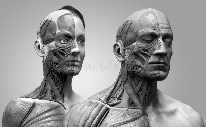 Αρσενικό και θηλυκό ανατομίας ανθρώπινου σώματος διανυσματική απεικόνιση