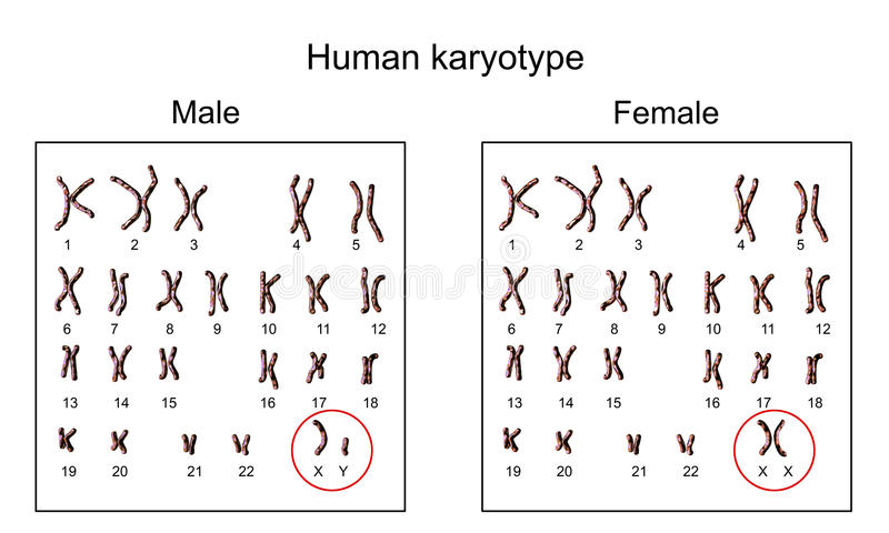 Αρσενικό και θηλυκό karyotype απεικόνιση αποθεμάτων