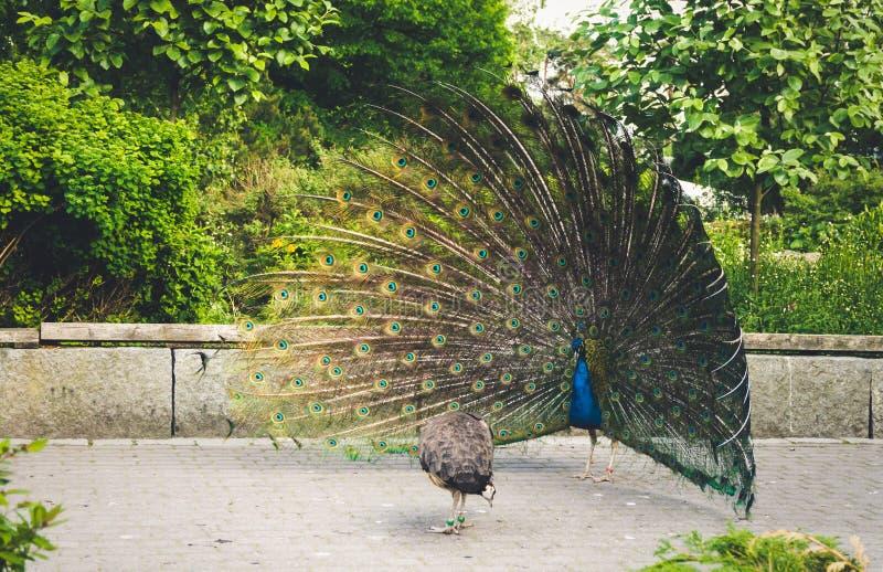 Αρσενικό και θηλυκό peacock στοκ φωτογραφία με δικαίωμα ελεύθερης χρήσης