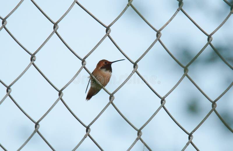 Αρσενικό καστανοκοκκινωπό κολίβριο στο φράκτη συνδέσεων αλυσίδων στοκ φωτογραφία με δικαίωμα ελεύθερης χρήσης