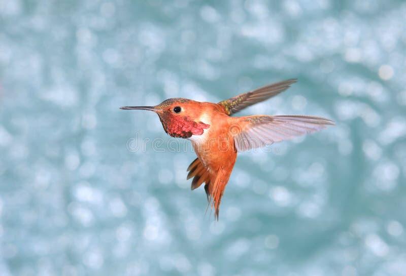 Αρσενικό καστανοκοκκινωπό κολίβριο κατά την πτήση, πράσινο υπόβαθρο στοκ φωτογραφία με δικαίωμα ελεύθερης χρήσης