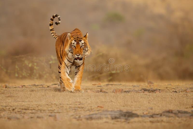 Αρσενικό κεφάλι περπατήματος τιγρών στη σύνθεση στοκ εικόνα με δικαίωμα ελεύθερης χρήσης