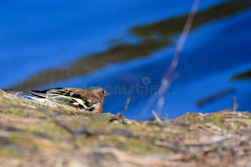 Αρσενικό κοινό πουλί Fringilla chaffinch coelebs κοντά στη λίμνη στο δασικό όμορφο φως του ήλιου στοκ φωτογραφία με δικαίωμα ελεύθερης χρήσης