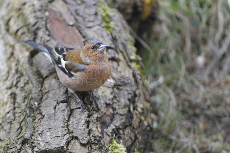 Αρσενικό κοινό chaffinch στο δάσος στοκ εικόνες