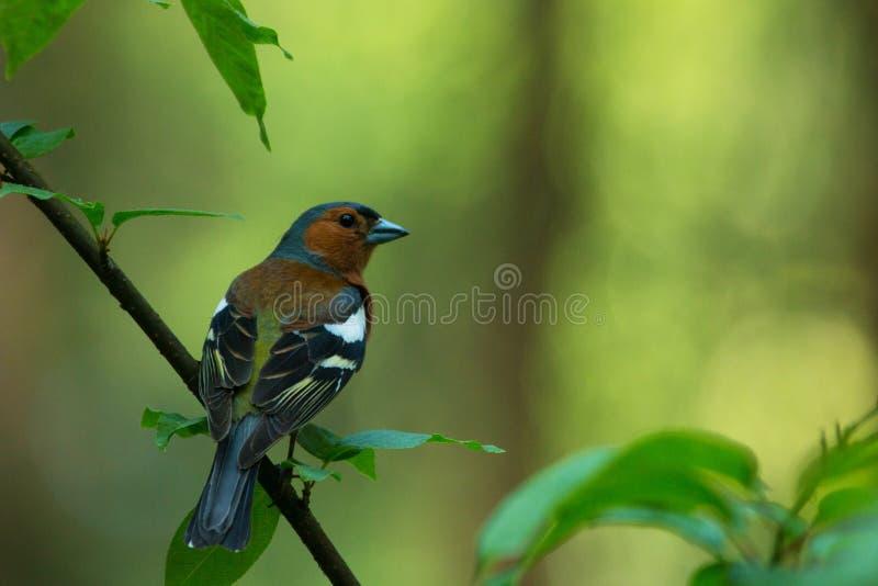 Αρσενικό κοινό chaffinch στοκ εικόνα