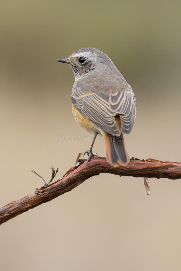 Αρσενικό κοινό phoenicurus Redstart Phoenicurus στοκ εικόνες με δικαίωμα ελεύθερης χρήσης