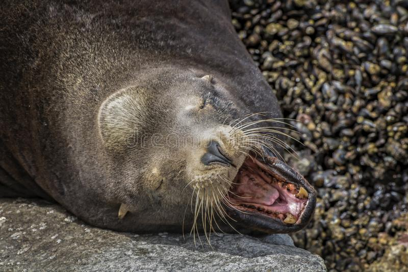 Αρσενικό λιοντάρι θάλασσας που λιάζει στα χασμουρητά βράχου που παρουσιάζουν αιχμηρά δόντια στοκ φωτογραφίες