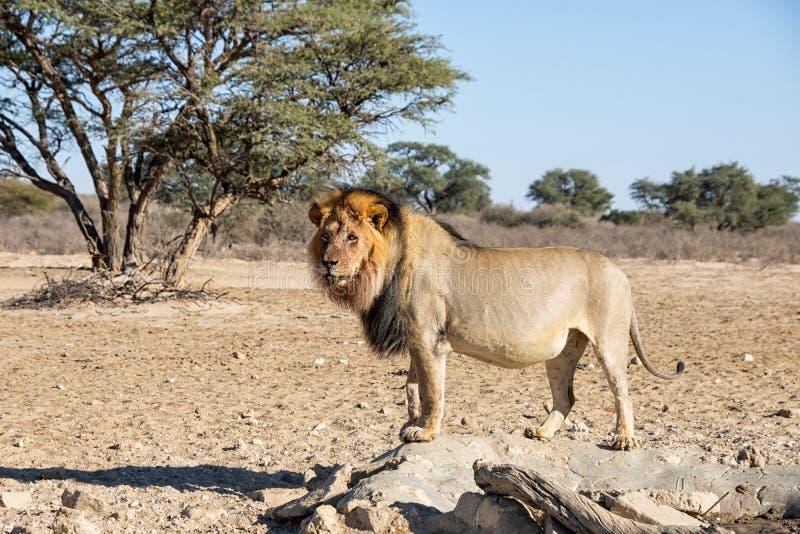 Αρσενικό λιοντάρι της Καλαχάρης στοκ φωτογραφίες