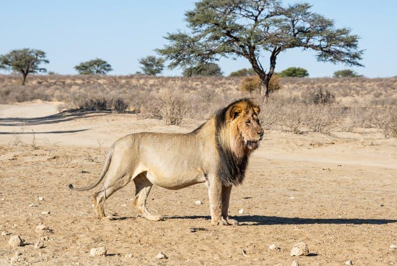 Αρσενικό λιοντάρι της Καλαχάρης στοκ εικόνα