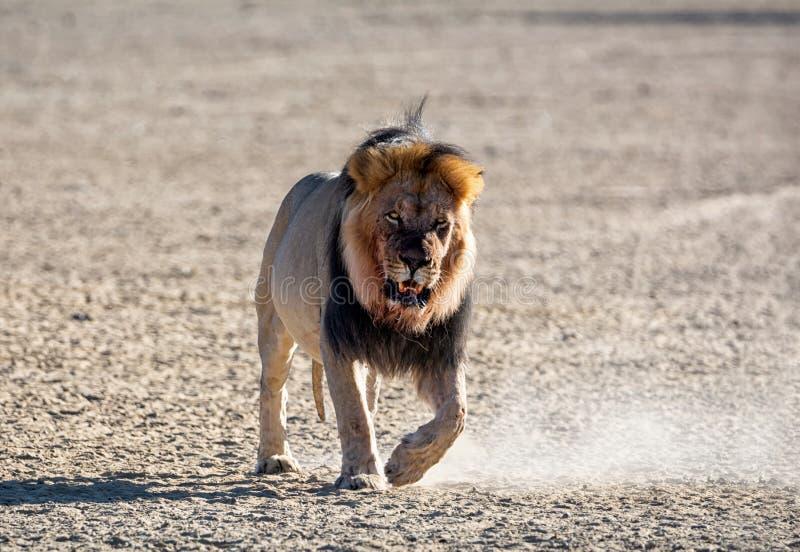 Αρσενικό λιοντάρι της Καλαχάρης στοκ εικόνες