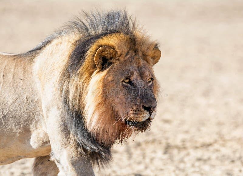 Αρσενικό λιοντάρι της Καλαχάρης στοκ φωτογραφία