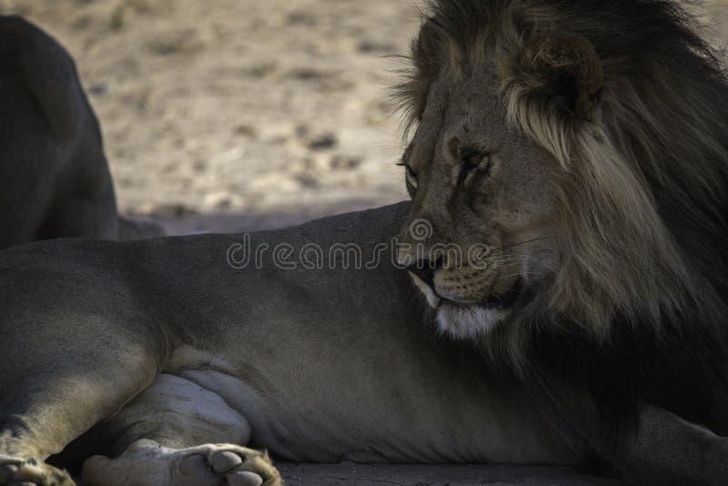 Αρσενικό λιοντάρι της Καλαχάρης στο εθνικό πάρκο Kgalagadi στοκ εικόνα