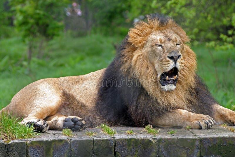 Download αρσενικό λιονταριών στοκ εικόνα. εικόνα από πλύση, μυρωδιά - 121711