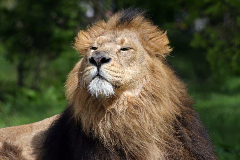 Download αρσενικό λιονταριών στοκ εικόνες. εικόνα από γούνινος, λιοντάρια - 121718