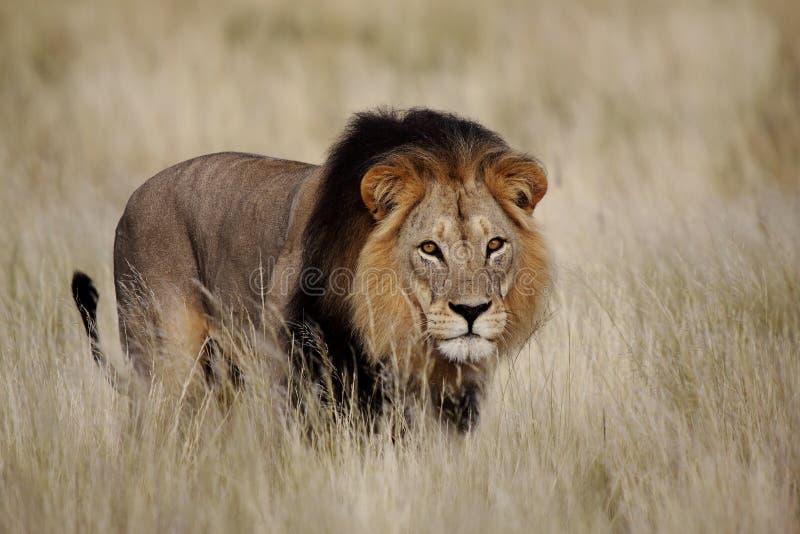 αρσενικό να κοιτάξει επίμονα λιονταριών στοκ εικόνες