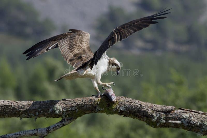 αρσενικό να ταΐσει osprey με τα ψάρια και κατάδυση στοκ φωτογραφία