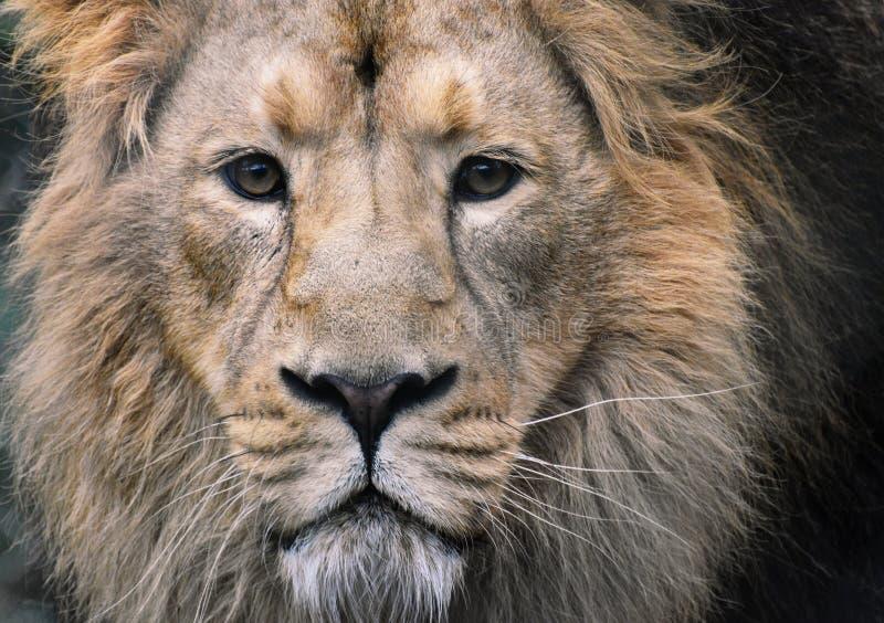 Αρσενικό πορτρέτο λιονταριών - στενός επάνω προσώπου με τη οπτική επαφή στοκ εικόνα