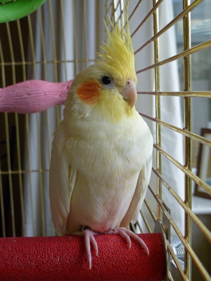 Αρσενικό πουλί Cockatiel που κοιτάζει έξω από το κλουβί στοκ εικόνες